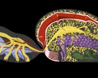 What does the nervous system control?
